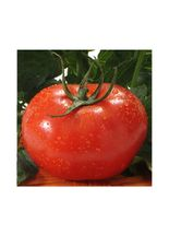 semente-feltrin-box-tomate-gaucho-melhorado